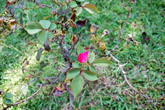 Rose Bush. (dccradio) Tags: lumberton nc northcarolina robesoncounty rose rosepetal roses flower floral flowers greenery leaves leaf grass lawn plant nature nikon d40 dslr outdoors outside stem