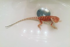 Day 174: Beardie Bath