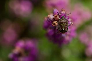 Hairy Shield Bug (Dolycoris baccarum)