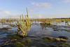 Glasswort (margie6920) Tags: slikken flakkee ochtend september glasswort kleur zeekraal bloeien water