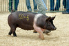 Swine Competition (dpsager) Tags: dpsagerphotography illinois pig springfield statefair swineshow