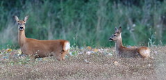 Roe Deer and Fawn (Robin M Morrison) Tags: roe deer fawn hl