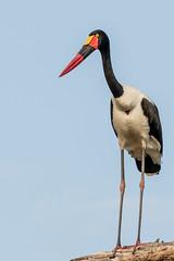Saddle-biiled Stork, Botswana (donnatopham) Tags: saddlebilledcrane botswana campxanakaxa