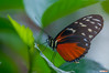 Anartia Amathea Butterfly (Classicpixel (Eric Galton) Photography Portfolio) Tags: butterfly insect papillon chenille caterpillar leaf leaves feuille nikon d100 ericgalton classicpixel carletonuniversity butterflyshow wing ailes macro tropical tropiques anartiaamathea