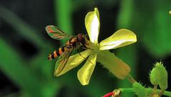 busy insect (grahamd4) Tags: fuji hs10