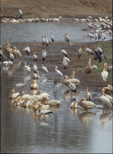Mixture of Fish eating Birds , fishing in an Oxbow of Luangwa River , Zambia