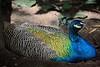 Pavão (Carlos Santos - Alapraia) Tags: ngc ourplanet animalplanet canon nature natureza wonderfulworld highqualityanimals unlimitedphotos fantasticnature birdwatcher pavão peacock ave bird