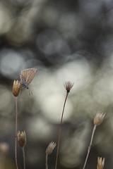 Velludita (explore) (Rafael Díez) Tags: españa larioja camprovin naturaleza mariposa macro rafaeldíez verano ambiente bokeh desenfoque polyommatusripartii