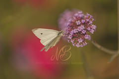White Cabbage Butterfly (Proper Photography) Tags: nature naturephotography noellebabinski flowers floral fall autumn 2017 summer insect bug naturephoto beautyinnature warm bright colorful canon canon5dmarkii photography macro sigma sigma70300 sigmalens sigmamacro butterfly whitecabbagebutterfly white wings pink pinkflowers green