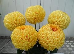 "Chrysanthemum ""Kimberly Marie"" (Kniphofia) Tags: chrysanthemum morpethchrysanthemumsociety showblooms kimberlymarie"