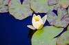 DSC_8877 (jonnyherb) Tags: water flower waterflower waterlillies yellow green beautiful colour color darkwater