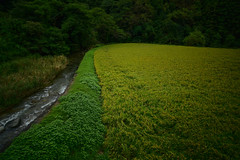 Shortly before harvest. (Yasuyuki Oomagari) Tags: rice field autumn river stream harvest curbe woods tree landscape nikon zeiss distagont2821 mountain rural country green yellow weed