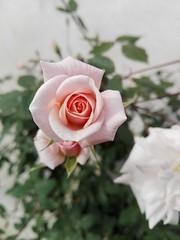 Rosa Rococó 🌸 (dani_chimi) Tags: flores flowers rosas beautifulflowers macroflowers boke