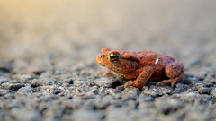 Red toad (- A N D R E W -) Tags: animal nature canon efs 80d 1855mm wildlife uk toad