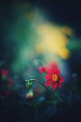 innocence (christian mu) Tags: flowers nature bokeh summer botanicalgarden botanischergarten muenster münster schlossgarten christianmu germany sonya7ii sony 50mm 5014 planar5014 planar