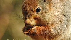 Red squirrel portrait. (eerokiuru) Tags: redsquirrel sciurusvulgaris orav closeup portrait animal