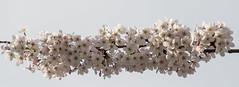 20170908_5635_7D2-200 Cherry blossom (johnstewartnz) Tags: canonapsc 7d 7dmarkii 7d2 apsc canon eos 70200 70200mm canon7dmarkii canoneos7dmkii blossom cherryblossom spring springtime 100canon unlimitedphotos yabbadabbadoo yabbadabadoo