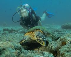 Modella con la Tartaruga Imbricata. Model and Hawsbill Sea Turtle (Eretmochelys Imbricata). (omar.flumignan) Tags: fishhead turtle tartaruga sub diver model modella arinord northari atollo atoll maldive maldives mare sea holiday vacanza mysachika canon g7xmk2 fantsea fg7xmk2 ikelite ds51 cruise crociera flicktravelaward ngc allnaturesparadise tartarugaimbricata hawksbillseaturtle