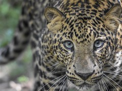 Walking (stephanieswayne1) Tags: portrait profile mouth nose head face zoo columbus cat big animal wild alert focused focus serious stare prowling stalking walking looking eyes spots endangered cub young male leopard african africa