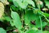 02082017_hs_0033_mL (speschlphotography_art) Tags: beinarbeit macro insekt grille grashüpfer blatt fühler 2017 290917b