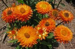 Ten little suns (langkawi) Tags: xerochrysum bracteatum helichrysumbracteatum doldeneverlasting strawflower strohblume orange