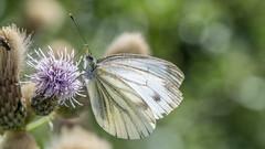 Piéride du chou. (TAHARFR) Tags: papillon butterfly bokehlicious bokeh nikon105f28 profondeurdechamp nature insects colors couleurs