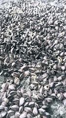 village (duckxo) Tags: shells clams close up macro