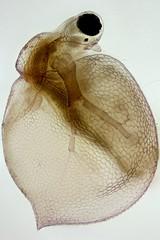 Ceriodaphnia (mr.sansibar) Tags: zooplankton crustacea cladocera focusstacking olympusbh2 ceriodaphnia photomicrography microscopy heliconfocus water flea
