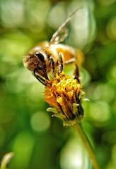 Vai voar (Paulo Mattes) Tags: bee bees bealtiful inseto insect insetos insects instagram natgeo naturelovers natureza nature closeup close macro