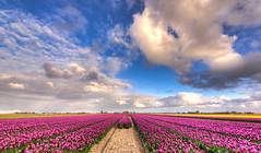 The heavens of Holland. (Alex-de-Haas) Tags: oogvoornoordholland 1635mm d750 dutch europe hdr holland nederland nederlands nikkor nikon noordholland thenetherlands clouds landscape landschap lucht nature natuur skies sky tulip tulipfields tulipa tulips tulp tulpen tulpenvelden wolken