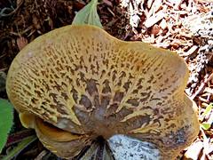 Mushroom Art (clickclique) Tags: nature art natureart mushroom trees brown macro outdoors texture gold yellow inexplore