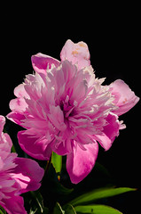 Paeonia (ErrorByPixel) Tags: pentax k5 pentaxk5 errorbypixel flower flowers black nature smcpentaxdfamacro100mmf28wr smc pentaxd fa macro 100mm f28 wr handheld paeonia