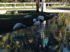 2013-12-08 12.03.40 (ashleyfmiller) Tags: birds water reflection keywest