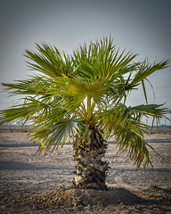 Alone! (Mohammed Qamheya) Tags: palm desert nikon d500 tamron qatar قطر نخلة شجرة سماء نيكون تامرون الشمال north alone dirt brown yellow green