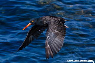 Black Oystercatcher: Los Angeles County