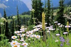 Wildflowers (Bella Lisa) Tags: aster lupin mountrainiernationalpark sourdoughmountains washington sunrisevisitorcenter degepeak mtrainier emmonsvista curlyeverlasting wildflowers wilderness nationalpark washingtonstate sunsetpoint hiking emmonsglacierevergreens pines pinetrees