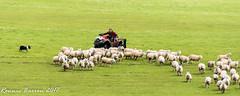 modern shepherd (RCB4J) Tags: ayrshire loudonhill rcb4j ronniebarron scotland sonydt1870f3556 sonyilca77m2 art dogwalking eastayrshire irvinevalley photography bordercollies workingsheepdog bracepair sheep herding flock mustering gathering field grass farming sherherd quadbike