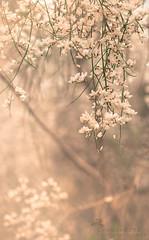 El perfume es el eco de las flores. Greguería. (Chaguaceda Fotografias) Tags: greguerias flores floressilvestres naturaleza nature beautyinnature