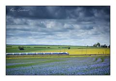 Le train bleu (Rémi Marchand) Tags: lin tgv yonne bourgogne pasilly bleu colza champ paysage ciel nuages lgv train canon5dmarkiii