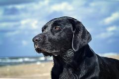 sand mouse 2017 (uwe.kast) Tags: labrador labradorretriever labradorredriver hund haustier dog denmark nikon nikon1v1 nikon1 nordsee northsee