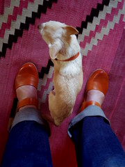 new shoes match floyd's collar (EllenJo) Tags: pentaxqs1 pentax august2017 ellenjo floyd lartiste springstep camelbutmoreorange orange chihuahua shoes dog