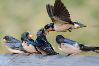 Barn Swallow Aerial Food Delivery