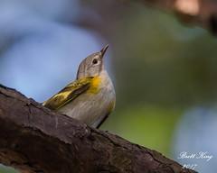 Female American Redstart  HHI (dbking2162) Tags: birds bird animal nature wildlife american redstart beautiful