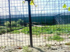 Stichting leeuw. Big cat rescue (Going to the Zoo with Trebaruna) Tags: landgoedhoenderdaell hoenderdaell dierenparkhoenderdaell annapaulowna zooannapaulowna dierenparkannapaulowna netherlands enclosures 2017 07082017