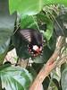 Horniman butterfly laying eggs (Inkysloth) Tags: butterfly butterflies insect insects invertebrate lepidoptera animal horniman hornimanmuseum caterpillar bug