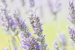 Lavender - Lavandula (Lauren Tucker Photography) Tags: closeup flower lavender macro plant uk southwest england newtonstloe nsl bath mill somerset canon7d slr camera photograph photography photographer photo image picture copyright ©laurentuckerphotography colour 2017 august july close up exposure experiment lavandula