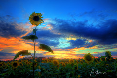 Above the Crowd (Tom Mortenson) Tags: sunset sunflowers marathoncounty wisconsin geotagged midwest canon canoneos canon6d 1740l usa northamerica america digital sundown dusk flowers floral scenery scenic sky clouds countryside sunflowerfield marathoncountywisconsin centralwisconsin hdr tonemapping photomatix summer field kronenwetter kronenwetterwisconsin blooms helianthus picturesque