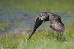 Great Gray Owl (Gregory Lis) Tags: greatgrayowl strixnebulosa gregorylis gorylis grzegorzlis britishcolumbia owl nikond810 nikon