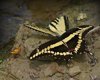 Swallowtails and friend