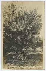 Flowering Willow Continuous Bloomer (SMU Central University Libraries) Tags: floweringtrees texasnurserycompany